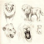 LionSketches3055